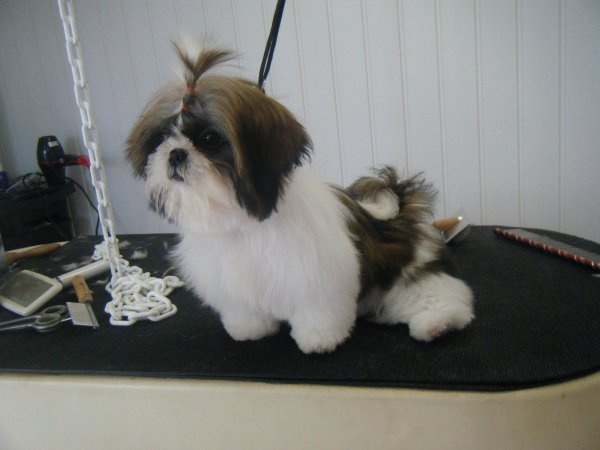 Pictures Of Bea Tzu 4 | Dog Breeds Picture